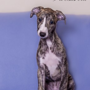 Whippet puppy Contemp Kemp (Siprex Nils и Sobers Magnolia)